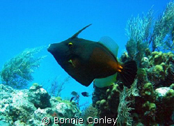 Filefish seen in Grand Cayman August 2008.  Photo taken w... by Bonnie Conley 